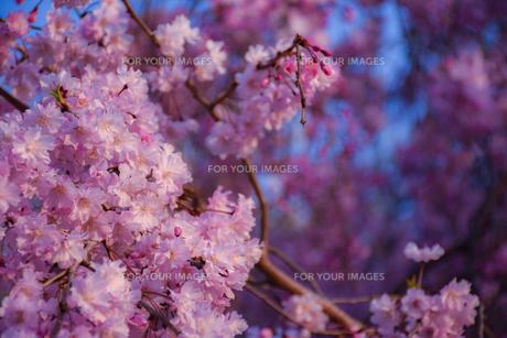 春の香の写真素材 [FYI01218084]