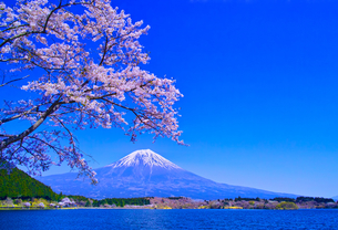 田貫湖から見る満開の桜と富士山の写真素材 [FYI01218277]