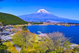 田貫湖から見る満開の桜と富士山の写真素材 [FYI01218278]