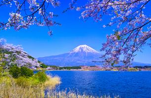 田貫湖から見る満開の桜と富士山の写真素材 [FYI01218280]