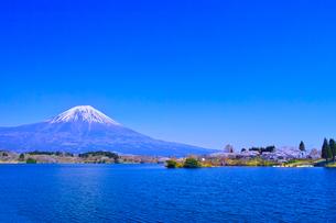 田貫湖から見る満開の桜と富士山の写真素材 [FYI01218281]