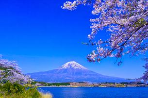田貫湖から見る満開の桜と富士山の写真素材 [FYI01218283]