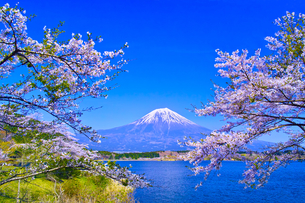 田貫湖から見る満開の桜と富士山の写真素材 [FYI01218284]