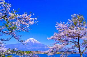 田貫湖から見る満開の桜と富士山の写真素材 [FYI01218285]
