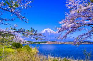 田貫湖から見る満開の桜と富士山の写真素材 [FYI01218286]