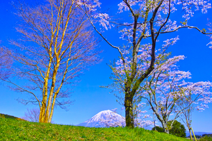田貫湖の草原から見る満開の桜と富士山の写真素材 [FYI01218287]