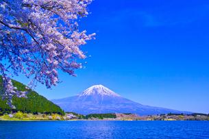 田貫湖から見る満開の桜と富士山の写真素材 [FYI01218288]