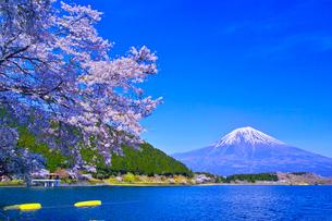 田貫湖から見る満開の桜と富士山の写真素材 [FYI01218289]