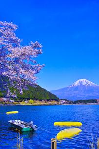 田貫湖から見る満開の桜と富士山の写真素材 [FYI01218290]