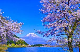 田貫湖から見る満開の桜と富士山の写真素材 [FYI01218293]