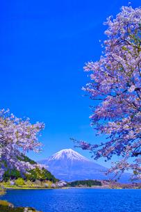 田貫湖から見る満開の桜と富士山の写真素材 [FYI01218294]