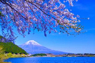 田貫湖から見る満開の桜と富士山の写真素材 [FYI01218295]