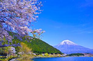 田貫湖から見る満開の桜と富士山の写真素材 [FYI01218296]