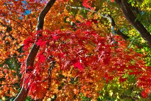 紅葉の写真素材 [FYI01218376]