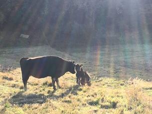 牛の家族と太陽の写真素材 [FYI01218483]