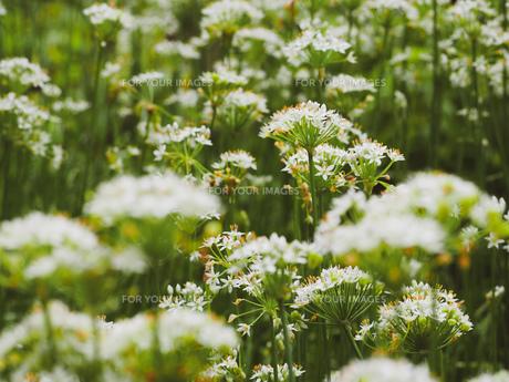 爽やかに風にゆれる草花の写真素材 [FYI01218487]