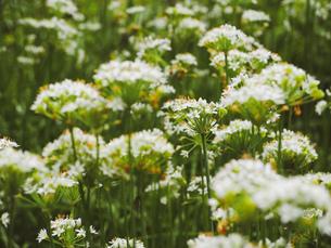 爽やかに風にゆれる草花の写真素材 [FYI01218489]
