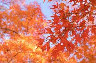 青空と赤い紅葉の写真素材 [FYI01218517]