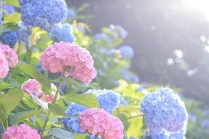 青とピンクのあじさいの写真素材 [FYI01218518]