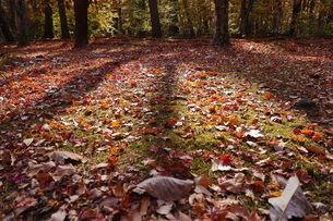 落葉と光の写真素材 [FYI01218526]