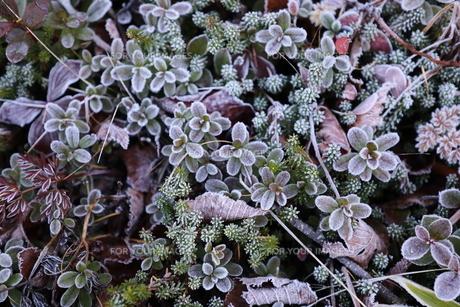 霜の草花の写真素材 [FYI01218532]