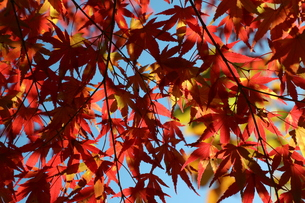 赤いカーテンの写真素材 [FYI01218536]
