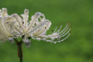 白い彼岸花の写真素材 [FYI01218540]