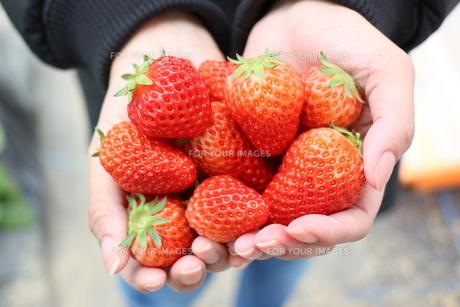 イチゴの写真素材 [FYI01218542]