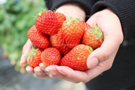 イチゴの写真素材 [FYI01218543]