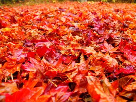 落ち葉の写真素材 [FYI01218544]