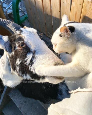 やぎと猫の写真素材 [FYI01218545]