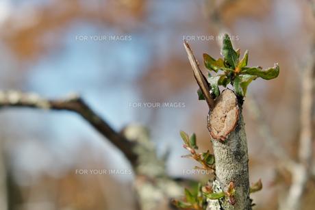 新芽の写真素材 [FYI01218844]