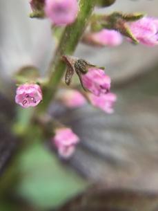 シソの花の写真素材 [FYI01219038]