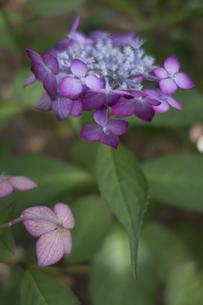 紫陽花の写真素材 [FYI01219153]