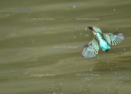 カワセミの捕食の写真素材 [FYI01219229]
