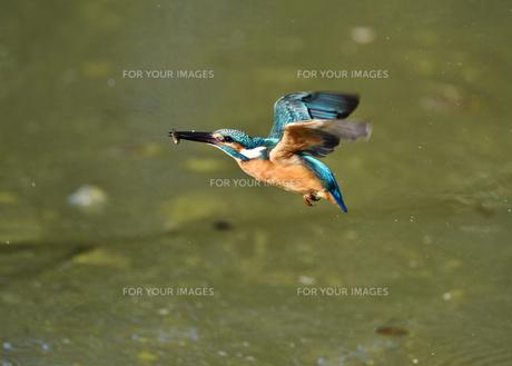 カワセミの捕食の写真素材 [FYI01219230]