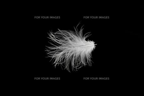 羽毛の写真素材 [FYI01219425]