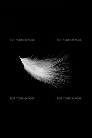 羽毛の写真素材 [FYI01219426]