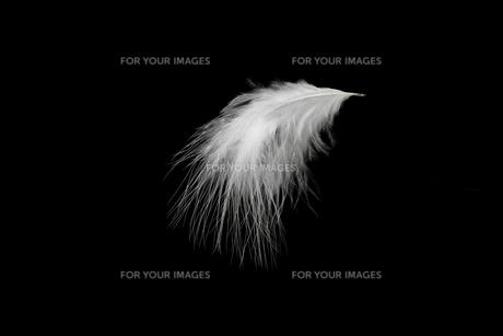 羽毛の写真素材 [FYI01219427]