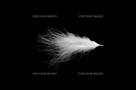 羽毛の写真素材 [FYI01219428]
