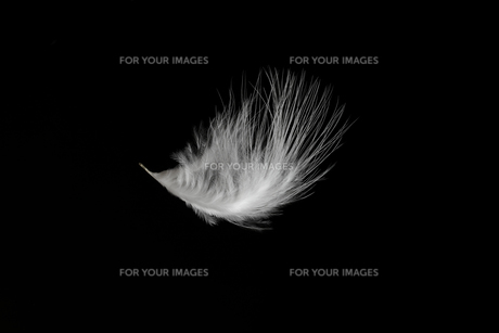 羽毛の写真素材 [FYI01219429]