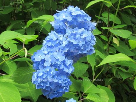 ブルーカラーの花びらが新鮮で鮮やかな発色のアジサイの写真素材 [FYI01219779]