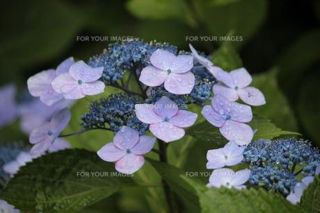 ピンクの花びら・ブルーの両性花・緑の葉・水滴により共演する紫陽花の写真素材 [FYI01219780]