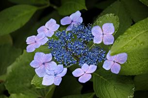 ピンクの花びら・ブルーの両性花・緑の葉・水滴により共演する紫陽花の写真素材 [FYI01219781]
