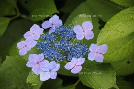 ピンクの花びら・ブルーの両性花・緑の葉・水滴により共演する紫陽花の写真素材 [FYI01219782]
