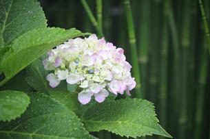 水滴の滲んだ葉・ピンクと白の上品なアジサイ。背景に小さな竹を配した和風感覚の写真素材 [FYI01219783]
