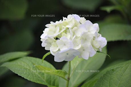 白と淡いピンクの花びらが生き生きと新鮮なアジサイの写真素材 [FYI01219784]