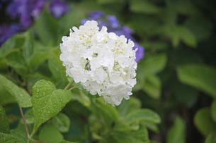 雨に濡れた上品な白いアジサイ。紫色の背景とのハーモニーの写真素材 [FYI01219785]