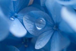 水玉と紫陽花の写真素材 [FYI01219808]
