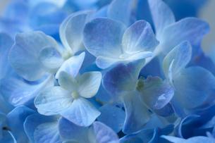 青い花びらの写真素材 [FYI01219809]